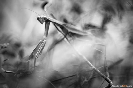 A praying mantis seeks refuge in the tall grasses of the secret park.